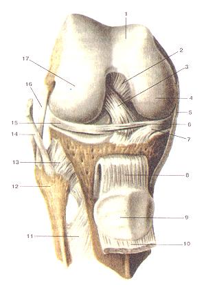 Сильно коленный сустав