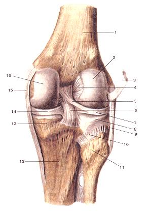 На самом деле, коленный сустав