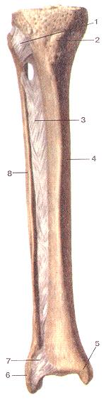 Соединения костей голени