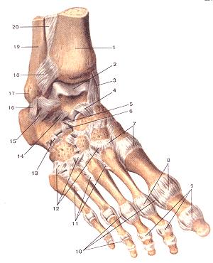 Связки и суставы стопы