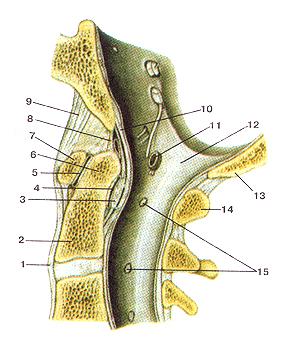 Истинно срединный атланто-осевой сустав