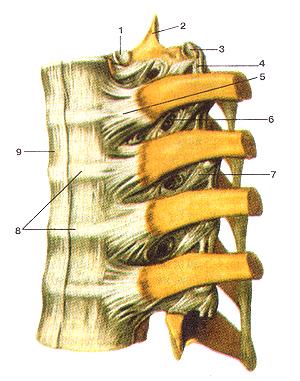Связки реберно-позвоночных суставов