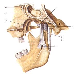 Связки височно-нижне-челюстного сустава