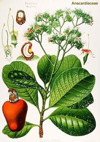 Анакардий восточный, Болотный восточный орех, Птицесерд, Слоновая вошь (Anacardium orientale, Semicarpus anacardium)