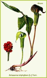 Аронник трехлистный (Arum triphyllum)