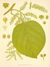 Кукольван, Рыболовные ягоды (Cocculus indicus, Anamirta cocculus)