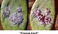 Кошениль, кактусовая тля (Coccus cacti)
