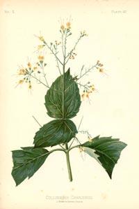Коллинсония канадская (Collinsonia canadensis)