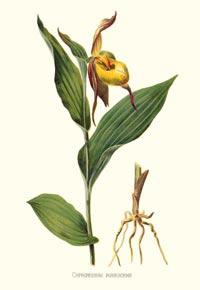 Башмачок пушистый (Cypripedium pubescens)