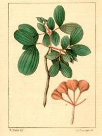 Гваяковое дерево, Бакаут (Guajacum officinale)