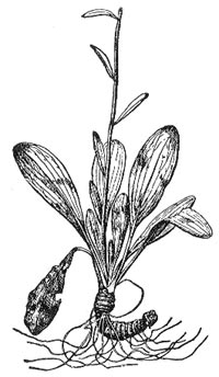 Хамелириум желтый (Helonias dioica)