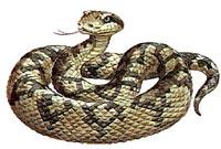 Яд змеи Ляхезис мутус или Сурукуку, Бушмейстер (Lachesis mutus)