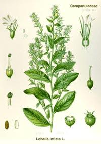 Лобелия вздутая (Lobelia inflata)