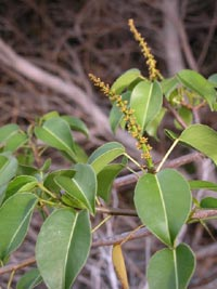 Манцинелла (Mancinella, Hippomane mancinella)