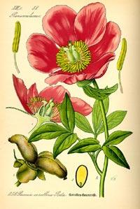 Пион аптечный (Paeonia officinalis)
