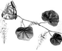 Хондодендрон войлочный, Парейра (Pareira brava, Chondodendron tomentosum)
