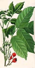 Паулиния (Paullinia sorbilis)