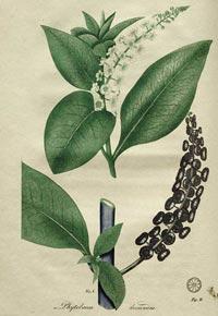 Лаконос американский (Phytolacca americana)