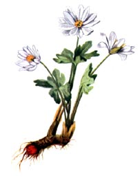 Сангвинария канадская (Sanguinaria canadensis)