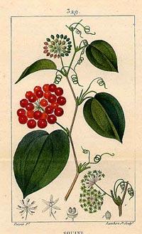 Сарсапарилла лечебная (Sarsaparilla, Smilax medica)