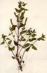 Скутеллярия, Шлемник бокоцветный (Scutellaria lateriflora)