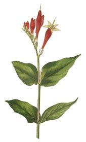 Спигелия противоглистная (Spigelia anthelmia)