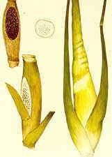 Пузырчатая головня кукурузы (Ustilago zear, maydis)