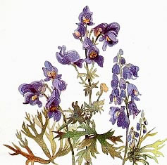 Борец синий (Aconitum napellus)