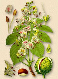 Каштан конский (Aesculus hippocastanum)
