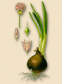 Лук репчатый (Allium cepa)