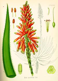 Алоэ сокотринское, сабур (Aloe socotrina)