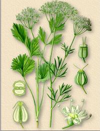Бадьян, Анис (Anisum stellatum)
