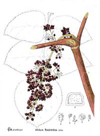 Аралия кистеносная (Aralia racemosa)