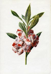 Бальзам перувианский (Balsamum рeruvianum)