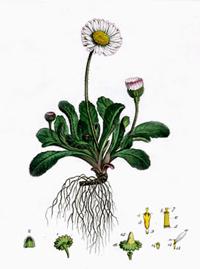 Маргаритка (Bellis perennis)