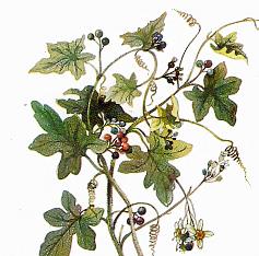 Переступень белый (Bryonia alba)