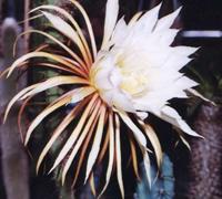 Кактус крупноцветный (Cactus grandiflorus)