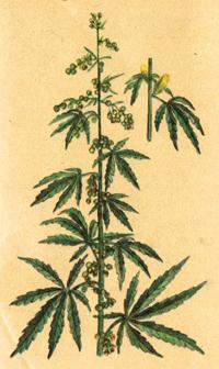 Конопля посевная (Cannabis sativa)