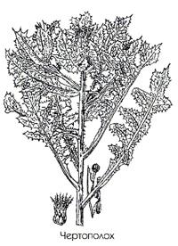 Расторопша пятнистая, Чертополох (Carduus marianus)