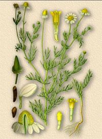 Ромашка аптечная, ободранная (Chamomilla, Matricaria chamomilla)