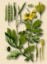 Чистотел большой, Ласточкин корень, Бородавник (Сhelidonium majus)