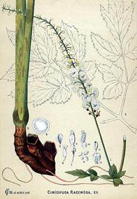 Клопогон кистеносный (Actea racemosa, Cimicifuga)