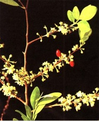 Эритроксилон, Кокаиновый куст (Coca, Erythroxylum coca)
