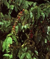 Кофейное дерево (Coffea arabica)