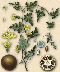 Колоцинт, Горькая тыква (Colocynthis, Citrullus colocynthis)