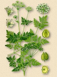 Болиголов пятнистый (Conium maculatum)