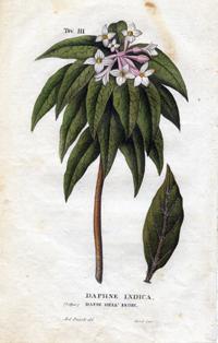 Волчеягодник индийский (Daphne indica)