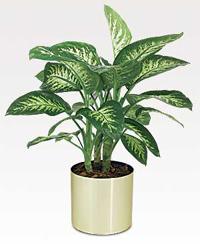 Диффенбахия (Caladium seguinum)