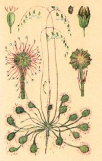 Росянка круглолистная (Drosera rotundifolia)