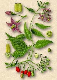 Паслен сладко-горький, Сорочья ягода (Dulcamara, Solanum dulcamara)
